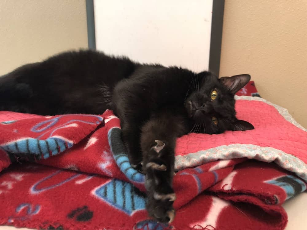 Ares the cat is looking for a forever home.