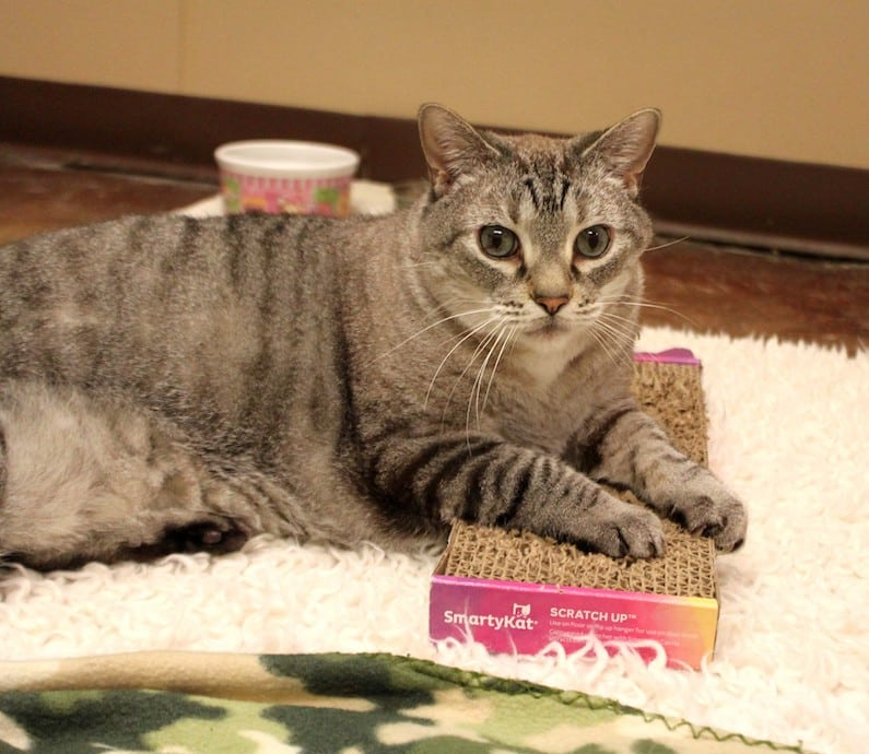 Maddie is an adoptable cat at Paws4ever