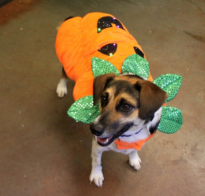 Jazmin is an adoptable dog at Paws4ever.
