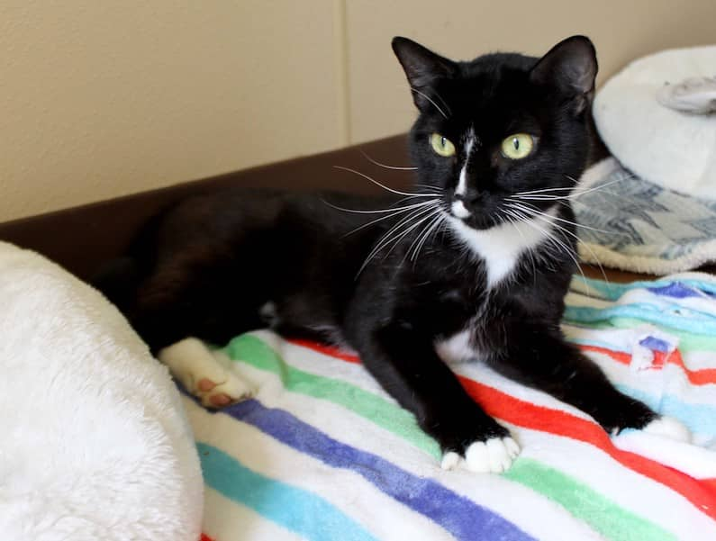 Reid is an adoptable cat at Paws4ever