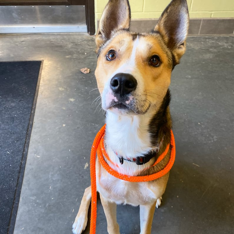 Jeremy knows how to sit, and he does it so sweetly. He is available through the medical foster program at Orange County Animal Services.