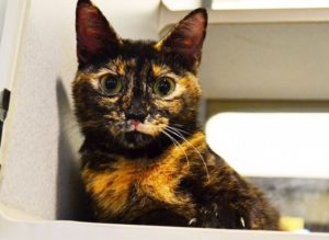 Daisy is an sweet, excitable and hilarious cat ready for a forever home.