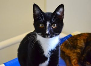Chicken is an adoptable cat at Orange County Animal Services