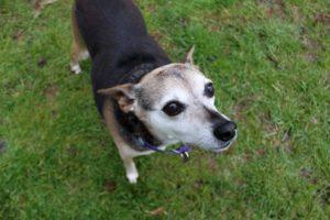 Dusty is a 10-year-old dog who needs a forever home.
