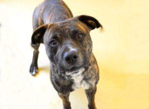 Yukon is an adoptable dog at Orange County Animal Services