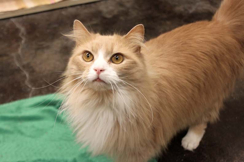 Griffin is an adoptable cat at Paws4ever