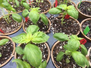 Genovese basil from Fifth Season Gardening Co.