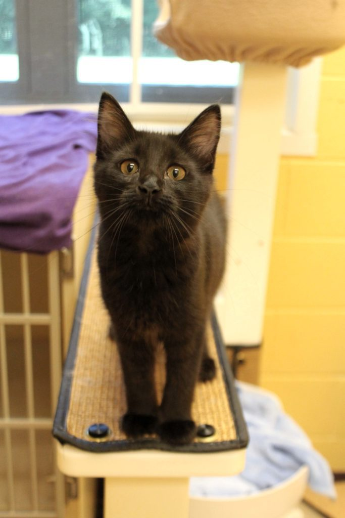 Darla is an adoptable kitten at Paws4ever