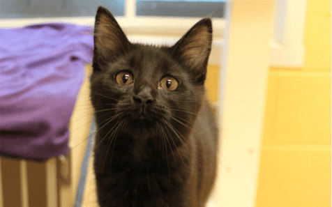 Darla is a sweet kitten at Paws4ever