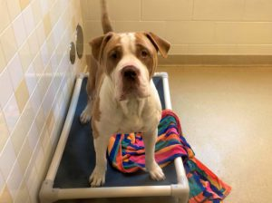 Titan is an adoptable deaf dog at Orange County Animal Services