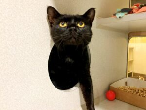Figaro is an affectionate little lady who is looking to fall in love with the perfect forever family! If you are sweet to her, she will tell you all of her adorable little secrets and dreams.