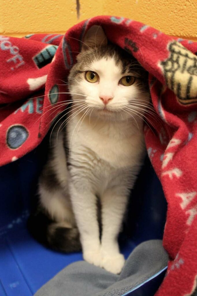 River is a 2-year-old adoptable kitty at Paws4ever.