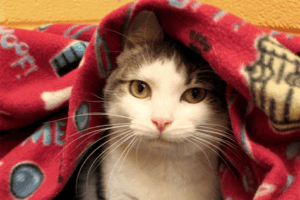 River is an adoptable cat at Paws4ever