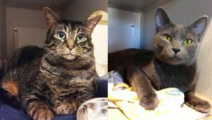 Ganci and Dixie are two bonded little peas in a pod, and they need to go to their forever home together. If you have room in your heart for two loving felines, these two make the purr-fect couple.