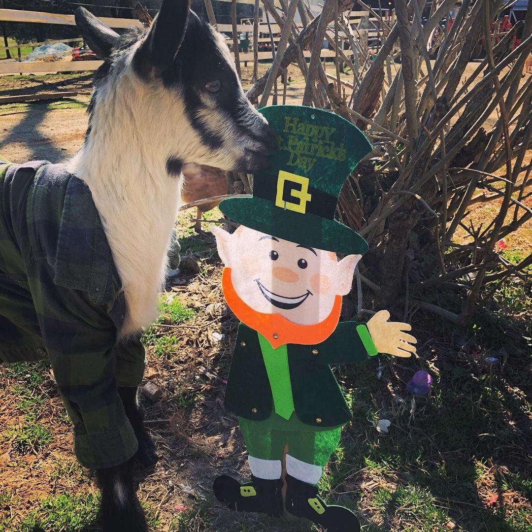 Goat-Spring-Haven-Farm-Saint-Patricks-Day-Photo
