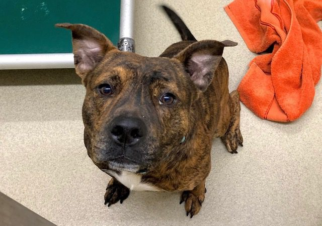Rocket is the most handsome little brindle buddy you could ever wish to meet