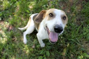 Opie is a 5-year-old, medium-size hound mix. This handsome guy is gentle natured and a people-pleaser.
