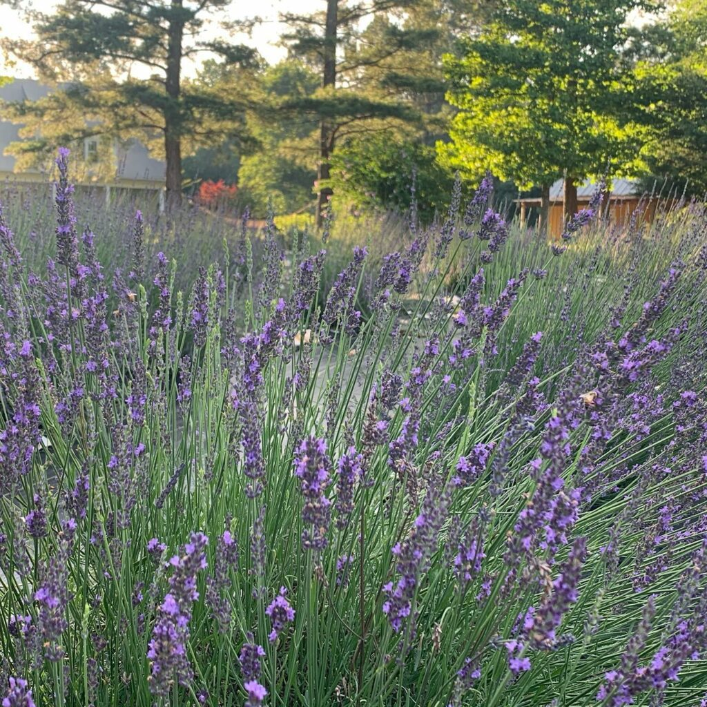 Sunshine Lavender Farm Chapel Hill Magazine Events Weekend