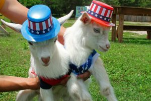 Fourth of July Goats on Spring Haven Farm