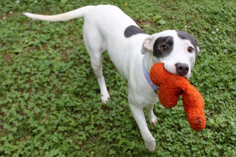 McKenzie is a sweet girl who loves to greet her friends with a wiggly body and toy in her mouth at Paws4ever